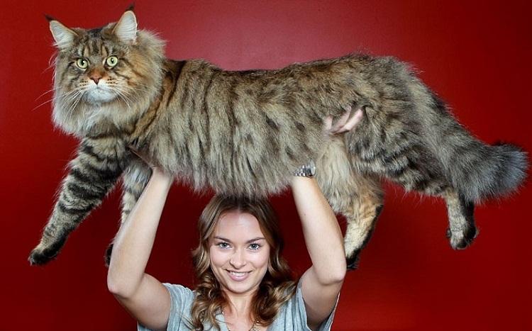 самой большой домашней кошки
