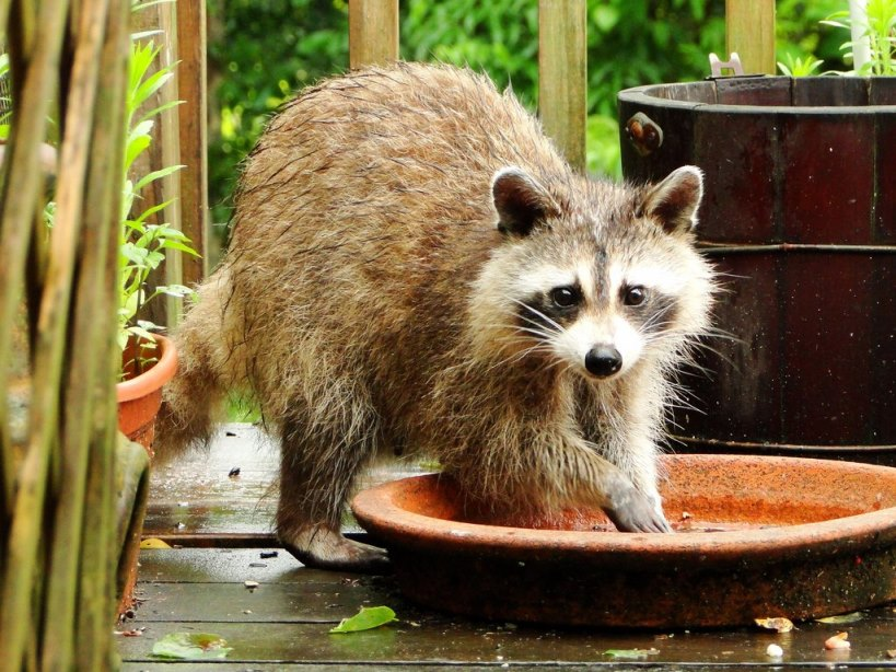 http://www.wonderfulnature.ru/photo/raccoon/enot-poloskun_moet.jpg